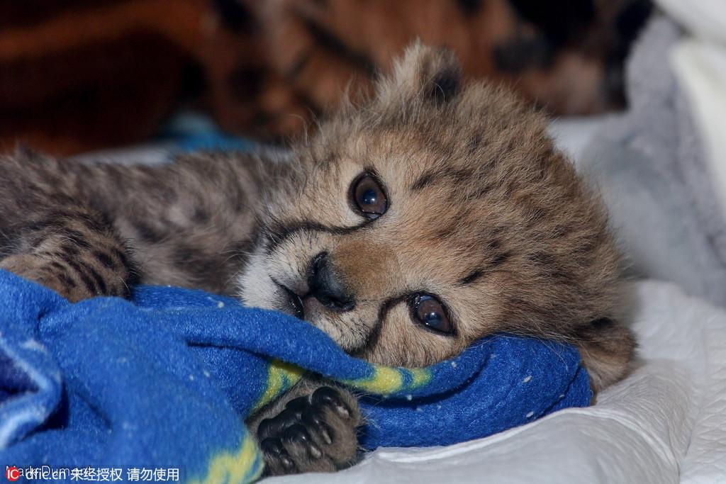 孤儿豹宝宝楚楚可怜惹人爱