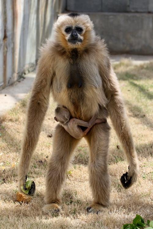 """4月13日,在山东烟台动物园,白颊长臂猿母亲""""园园""""携幼崽与游客见面."""