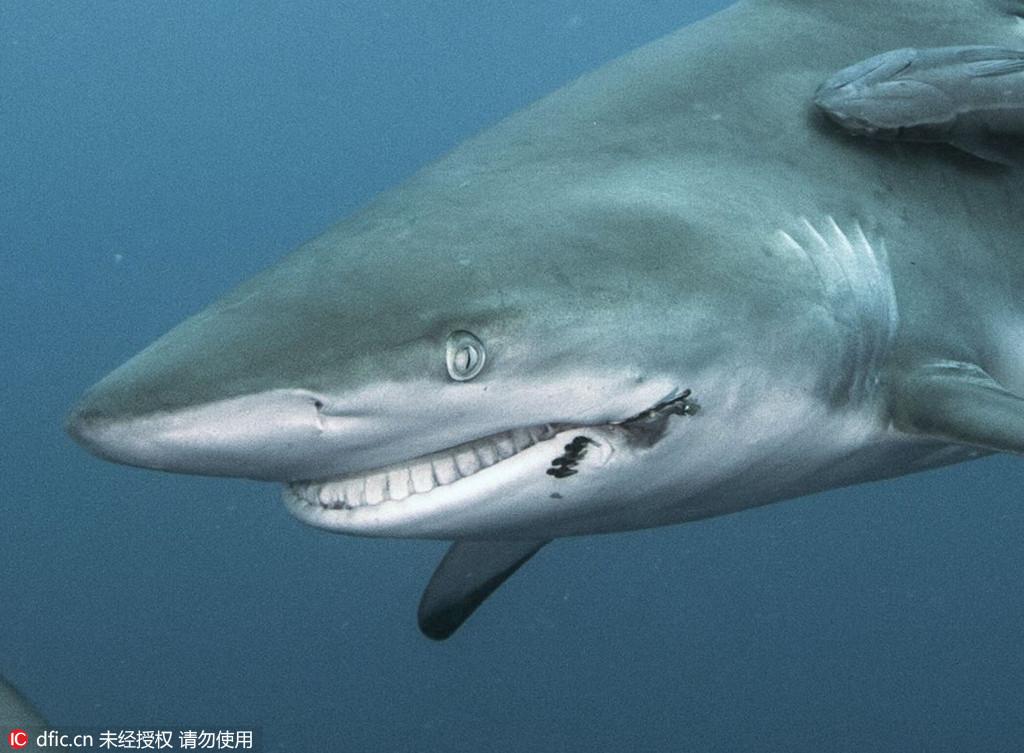俄摄影师拍摄鲨鱼嘴被鱼钩刺透 似咧嘴微笑
