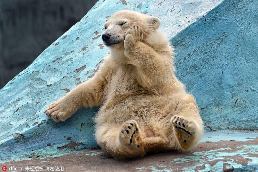 俄罗斯小北极熊爱做瑜伽 发现游客害羞躲镜头
