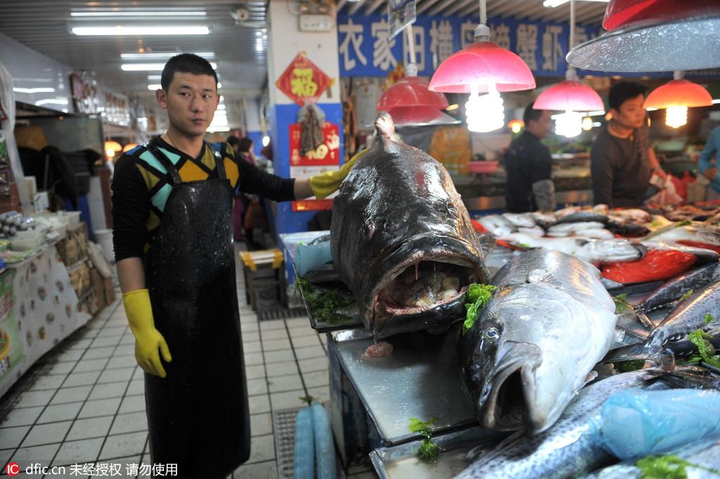 青岛海鲜市场惊现305斤巨型石斑鱼