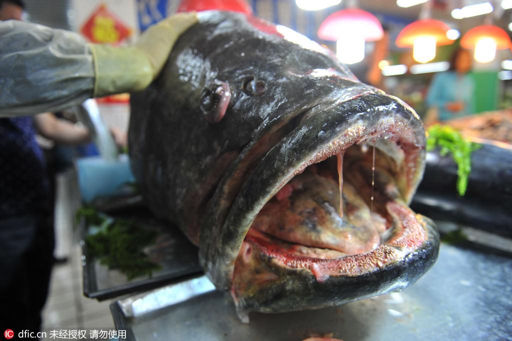 """青岛惊现305斤巨型石斑鱼 """"血盆大口""""面目狰狞引围观"""