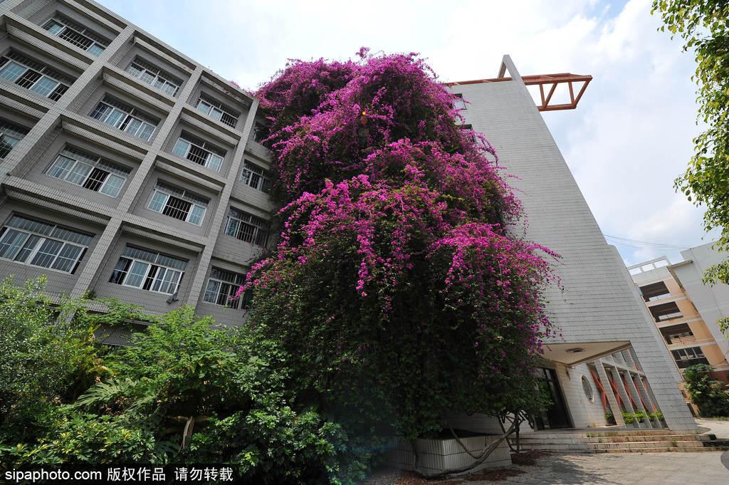 """广西一高校惊现20米高罕见巨型三角梅""""鲜花瀑布""""景观"""