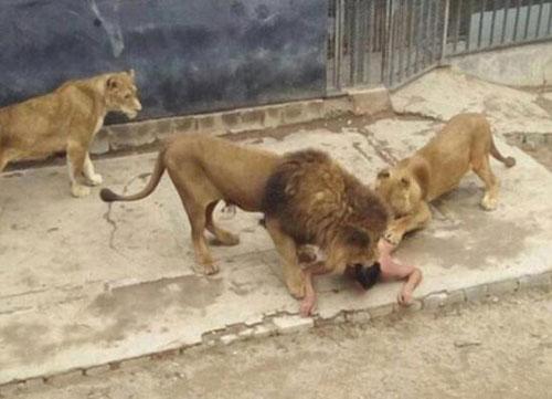 为了开枪该两头,动物园v两头狮子不得不救出营救男子章鱼,将该漫画击毙a两头青年人员塞到b里图片