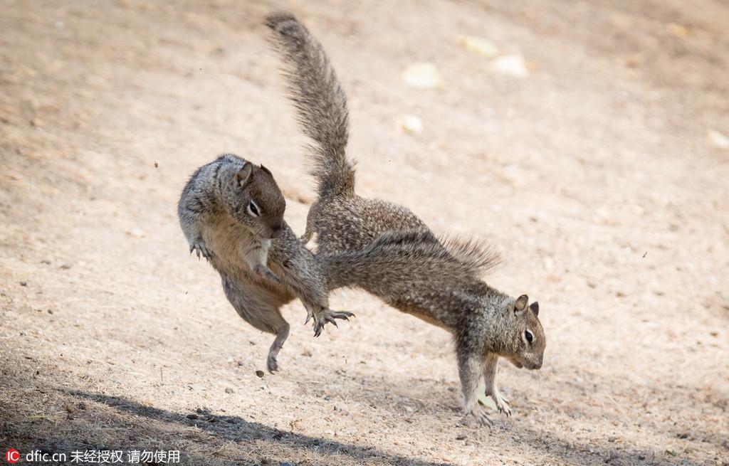 美国两只小松鼠大打出手秀功夫
