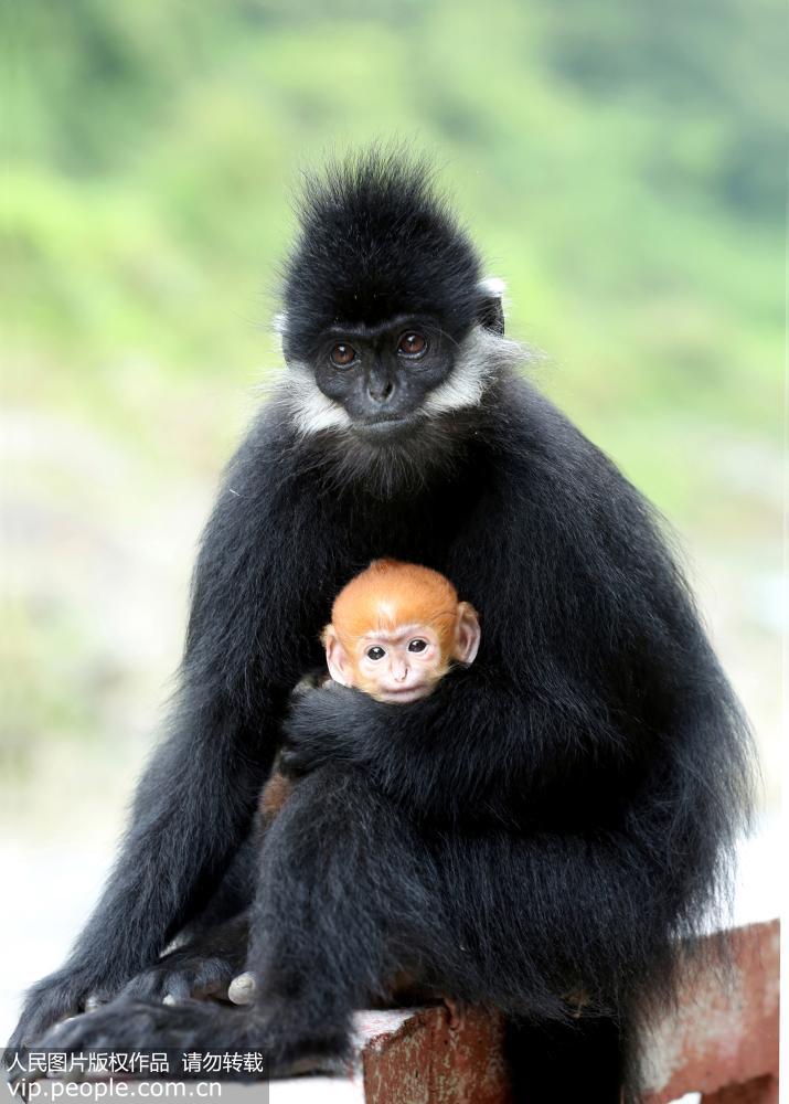 2016年7月18日,贵州省麻阳河国家自然保护区沿河自治县大河坝管理站,黑叶猴妈妈抱着猴宝宝外出采食,猴宝宝金黄色的茸毛在群猴中格外显眼。 据管站工作人员介绍,黑叶猴宝宝于7月14日出生,身体健康,在三个月后,身上的茸毛逐渐变黑。(田茂昌) 据介绍,黑叶猴是世界濒危物种、国家一级保护动物,一般每胎产1仔,寿命为1012年。2003年,麻阳河被批准为国家级自然保护区后,由于加强对黑叶猴的保护,保护区内的黑叶猴由76群730只左右,增加到目前800多只。 (声明:凡带有人民图片字样图片,系版权图片,受法律