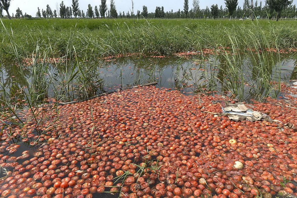 宁夏灵武市梧桐树乡陶家圈村,田边的沟渠内密布着农户因为滞销而倾倒丢弃的西红柿(8月2日摄)。