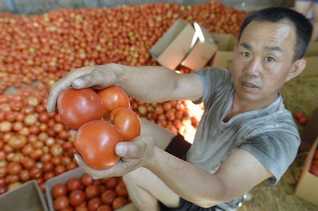 宁夏灵武市梧桐树乡一家西红柿收购点,蔬菜经纪人正在展示他收购的西红柿,虽然品相很好,但是收购价格依然徘徊在0.1元每斤到0.2元每斤(8月2日摄)。