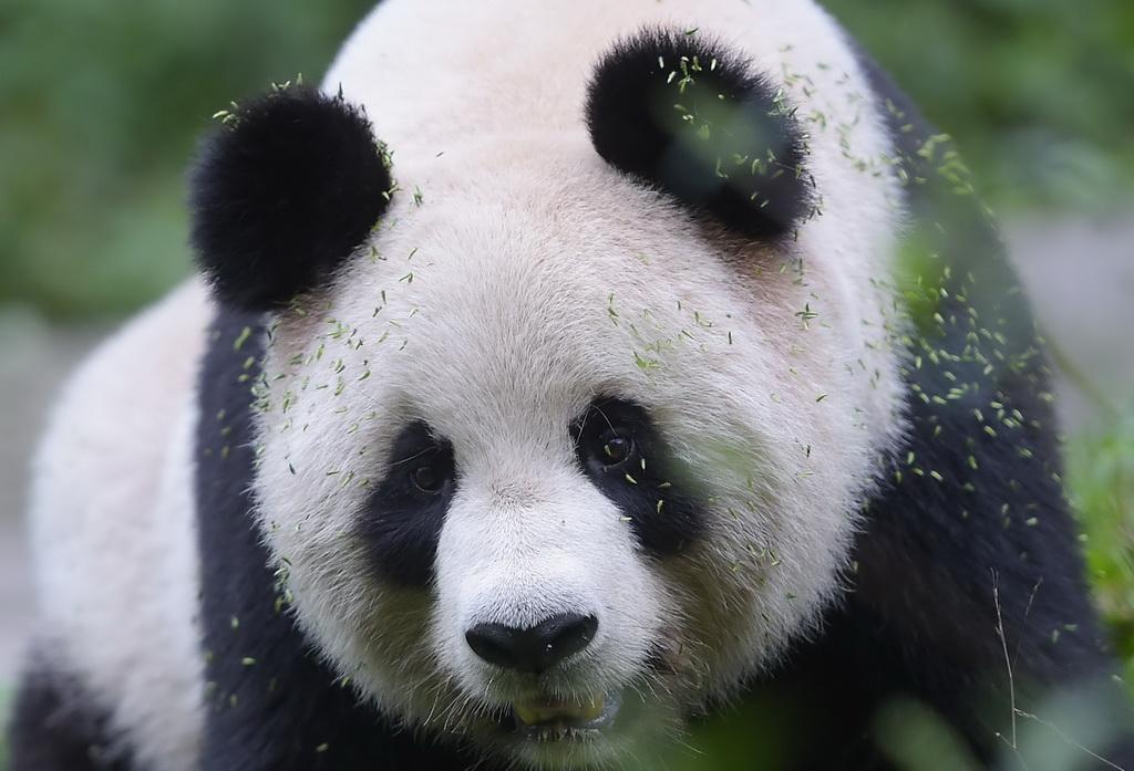 """""""探秘""""大熊猫野化训练"""