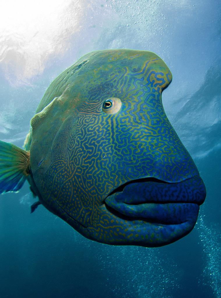 拿破仑鱼吞食潜水员 光错觉造就神奇画面