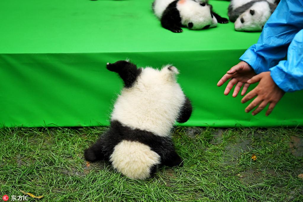 2016成都繁育成活大熊猫幼崽27只创历史最高纪录