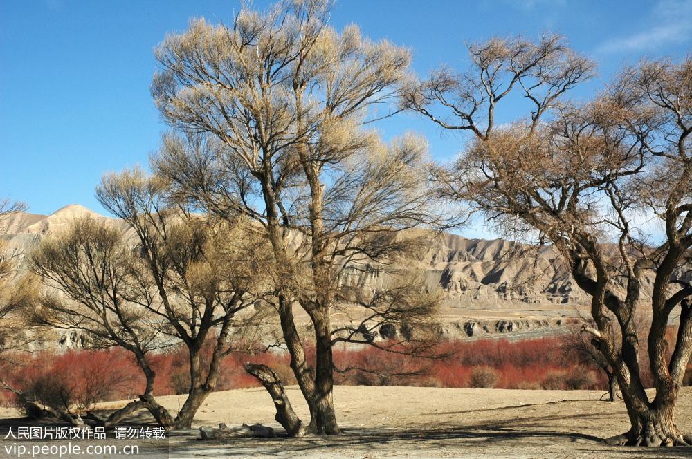 青海同德:存活至今的全世界最大一片野生古柽柳林或将覆没