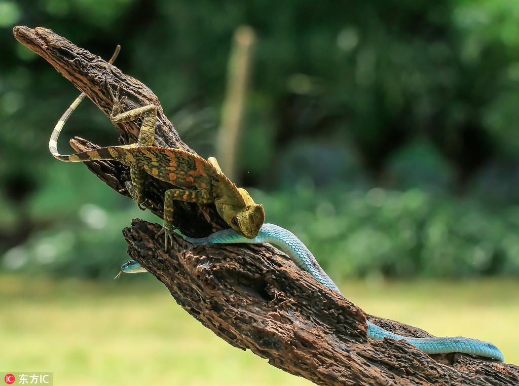 实拍印尼蜥蜴大战毒蛇 以攻为守顽强反击