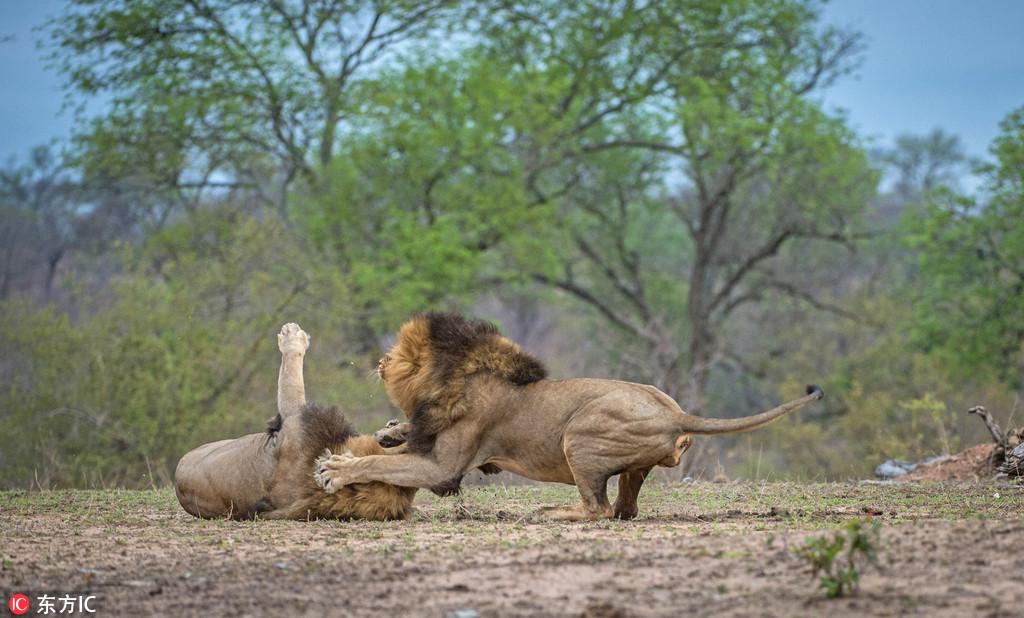 南非狮子兄弟大打出手