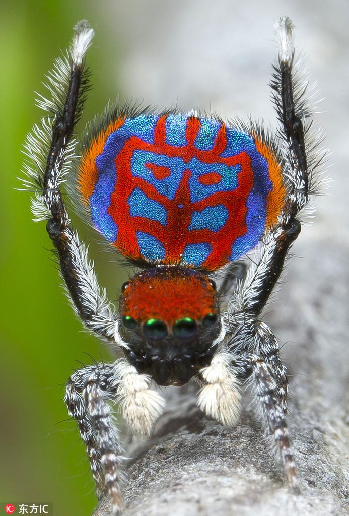 蜘蛛对很多人来说是一种可怕的存在,毛茸茸的十分可怕,但漂亮的空去蜘蛛却给人眼前一亮的感觉。澳大利亚生物学家Jurgen Otto拍摄了一组孔雀蜘蛛的照片,这些蜘蛛不同于我们平日所见的蜘蛛那样恐怖,它们体色各异十分绚丽,有蓝色、绿色、橘色,丰富的颜色组成各种复杂的图案,色彩斑斓十分美丽,而它们两只触角伸向空中的动作更是像极了在跳吉格舞。