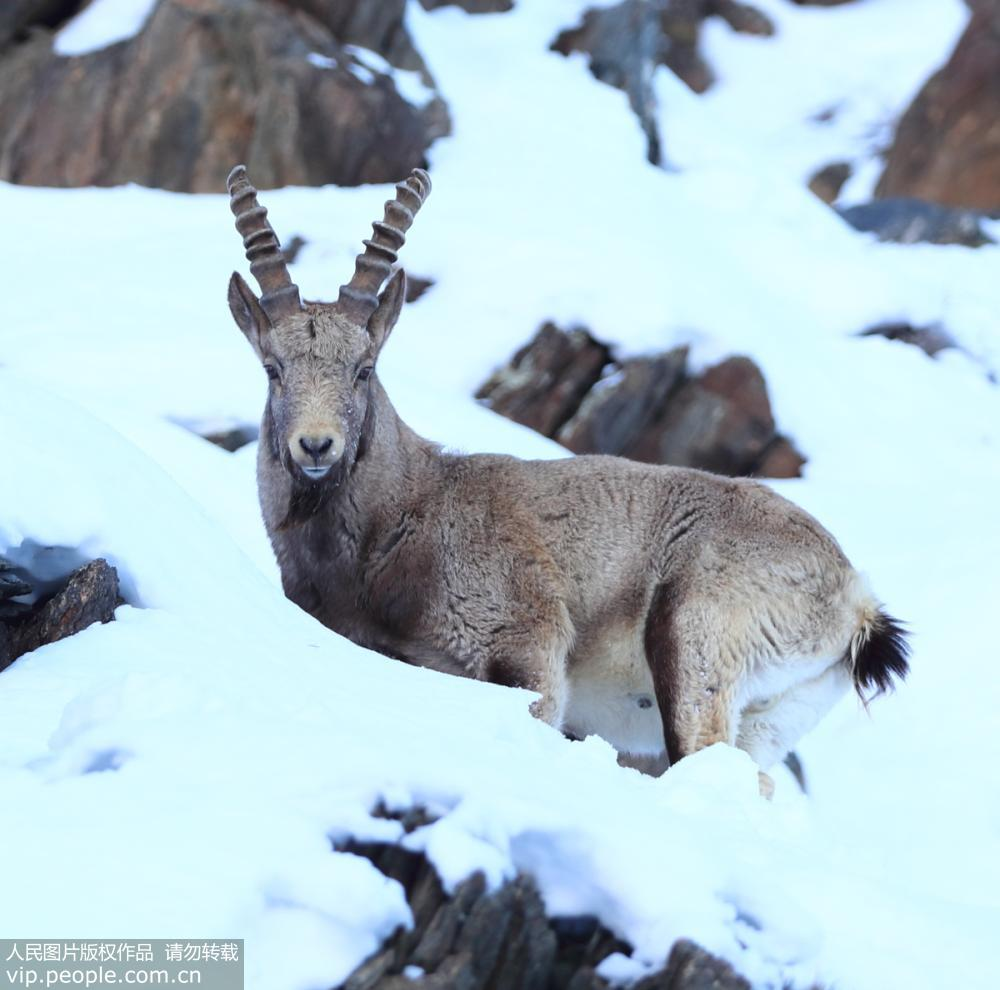 家一级保护动物北山羊