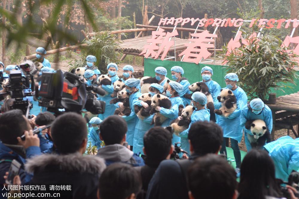 """成都:23只大熊猫宝宝""""小年""""集体亮相"""