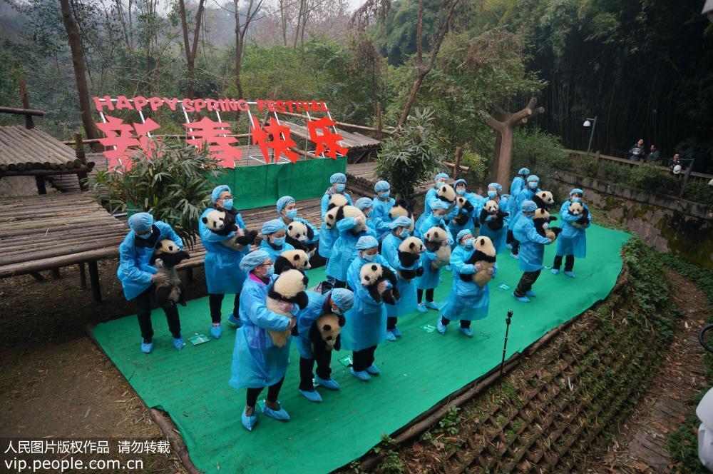 """成都:23只大熊猫宝宝""""小年""""集体亮相【5】"""