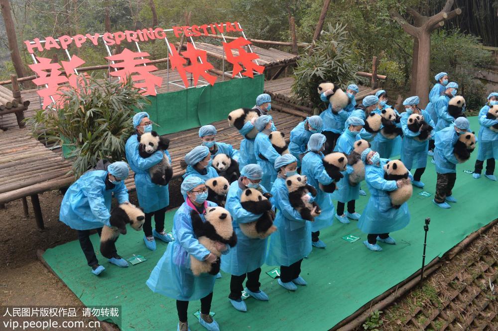 """成都:23只大熊猫宝宝""""小年""""集体亮相【3】"""
