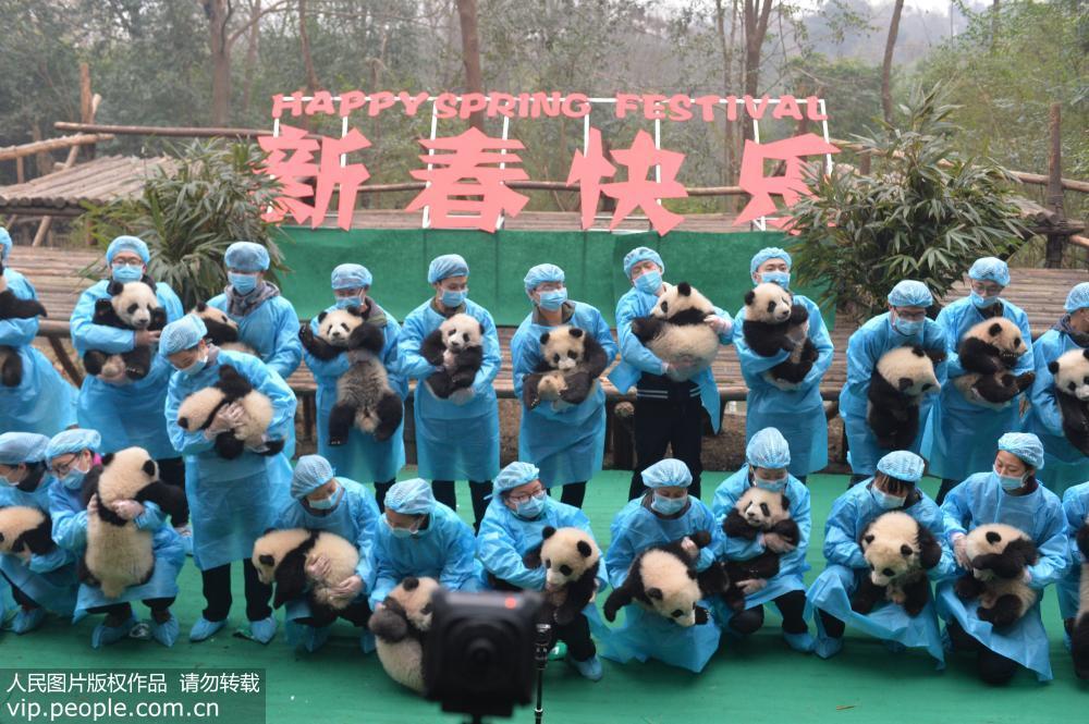 """成都:23只大熊猫宝宝""""小年""""集体亮相【2】"""