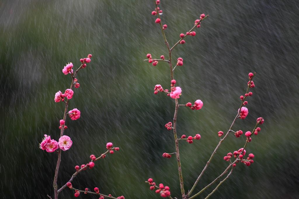 江苏各地的梅花悄然绽放