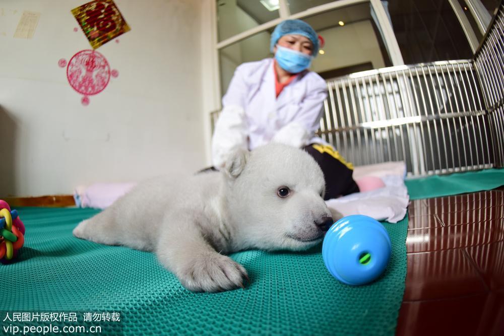 山东蓬莱海洋极地世界北极熊新添小宝宝