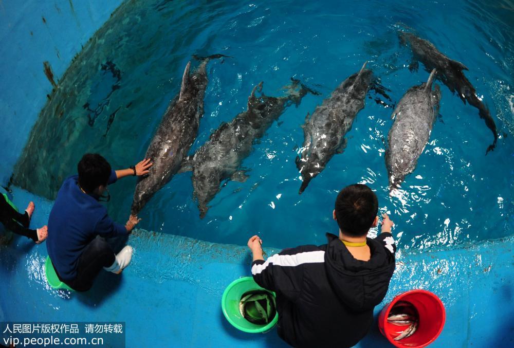 """10头日本海豚在山东蓬莱""""安""""新家 正式开始适应生活"""