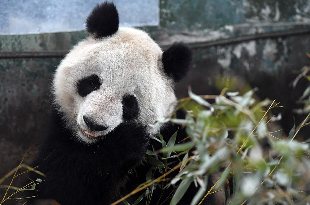 3月12日,国家林业局局长张建龙在北京人民大会堂两会部长通道回答记者提问时表示,经专家组评估,鉴于兰州市动物园设施陈旧、照料老龄大熊猫经验不足等实际情况,确定将该园的大熊猫蜀兰委托给中国大熊猫保护研究中心代养。 据兰州市动物园介绍,经请示上级主管部门同意,准备将大熊猫蜀兰送往中国大熊猫保护研究中心进行全面体检,并在该中心都江堰基地代养调理。目前,相关运输事宜正在协调办理。新华社记者 范培珅 摄