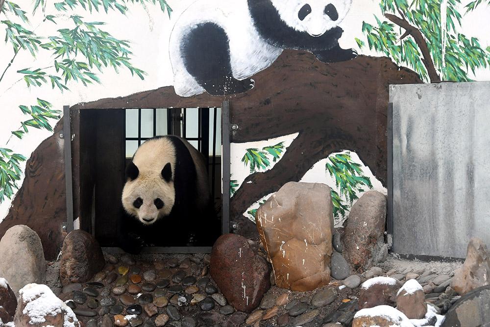 """3月13日,在兰州市动物园大熊猫馆,大熊猫""""蜀兰""""走出馆舍到户外活动."""