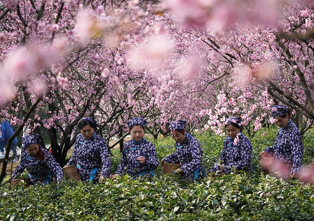 """3月21日,女员工在钟山风景区的""""梅茶间作""""生态茶园里采摘春茶鲜叶."""