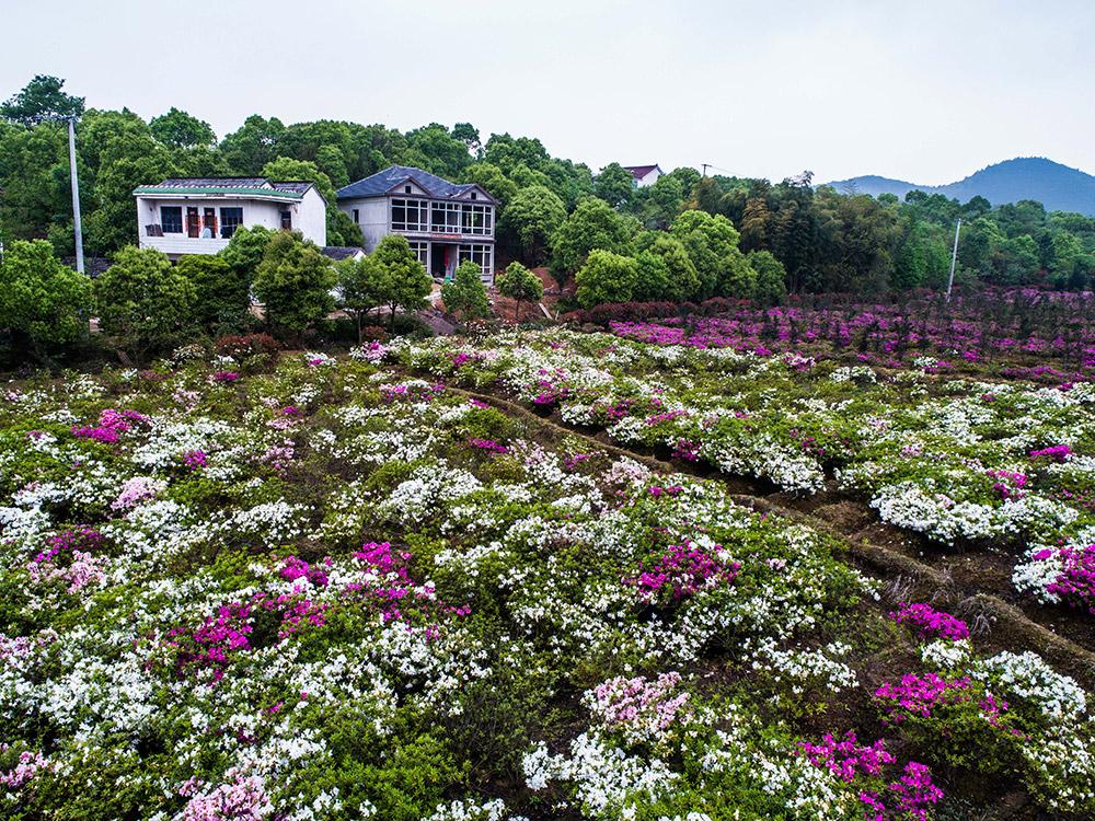 4月26日,空中俯瞰长兴县泗安镇生态农业观光园内千亩五彩杜鹃花.