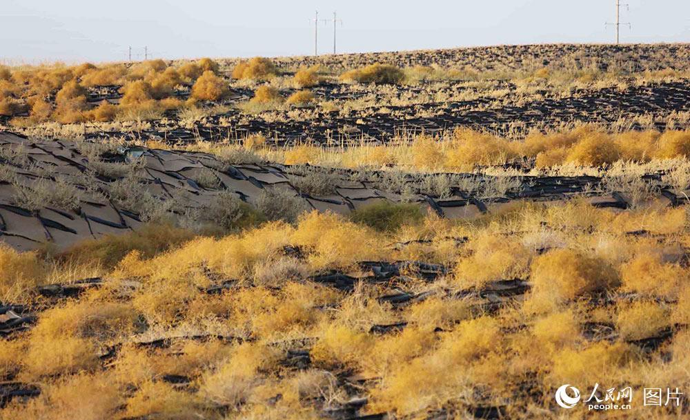 在固沙网格内种植了适宜沙漠地区生长的植被,防风固沙效果明显.