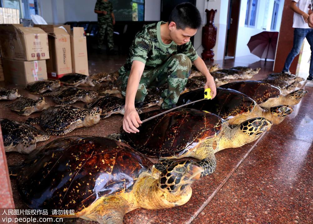 广西防城港边防查获38只国家二级保护动物玳瑁标本