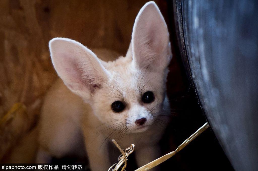 苏格兰动物园珍稀耳廓狐宝宝 机灵可爱萌态毕露
