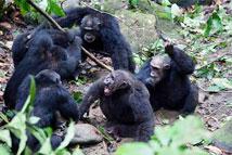 猩猩首级头子遭篡权被围攻