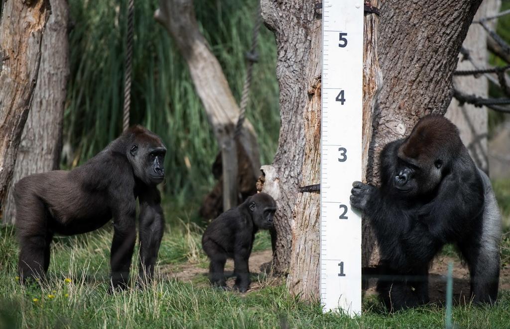 8月24日,在英国伦敦动物园,大猩猩观察身高尺.