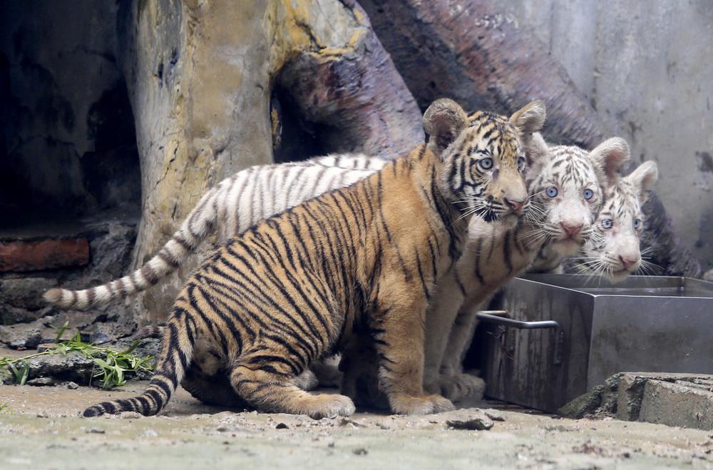 9月6日,济南动物园三胞胎虎宝宝与虎妈妈同游客见面。