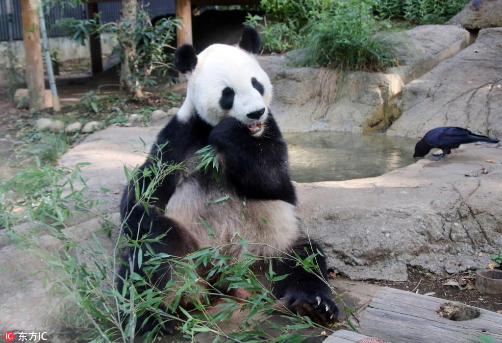 """上野动物园大熊猫""""力力""""啃竹子 当爸后胃口不错"""