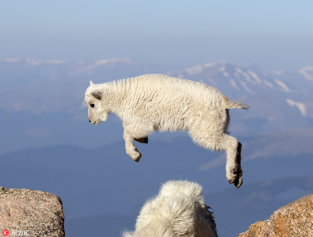 丝毫不恐高!小羊羔海拔4000米山上自由跳跃【2】
