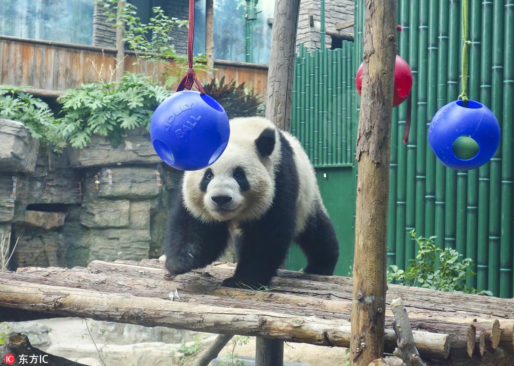 """大熊猫""""萌兰"""",""""点点""""亮相北京动物园"""