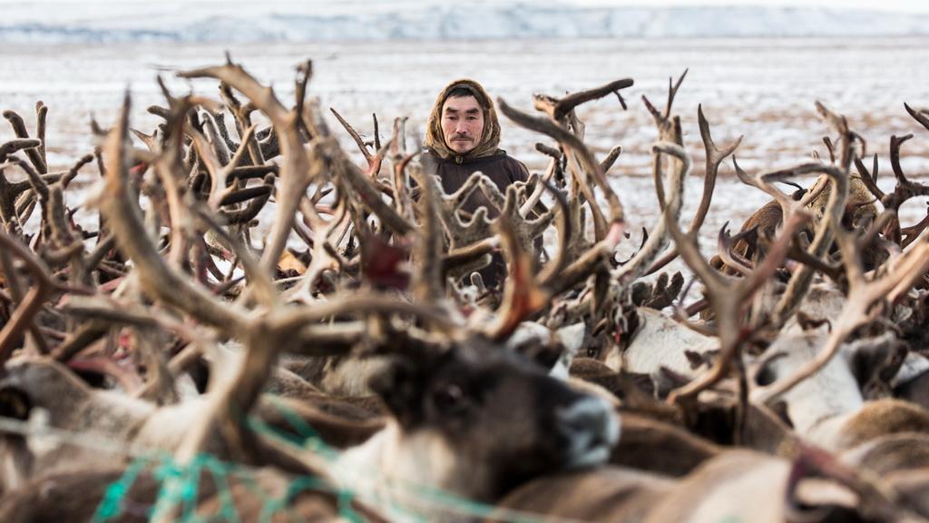 11月4日,在俄罗斯亚马尔-涅涅茨自治区,一名涅涅茨男子将驯鹿圈进围栏。新华社记者白雪骐摄