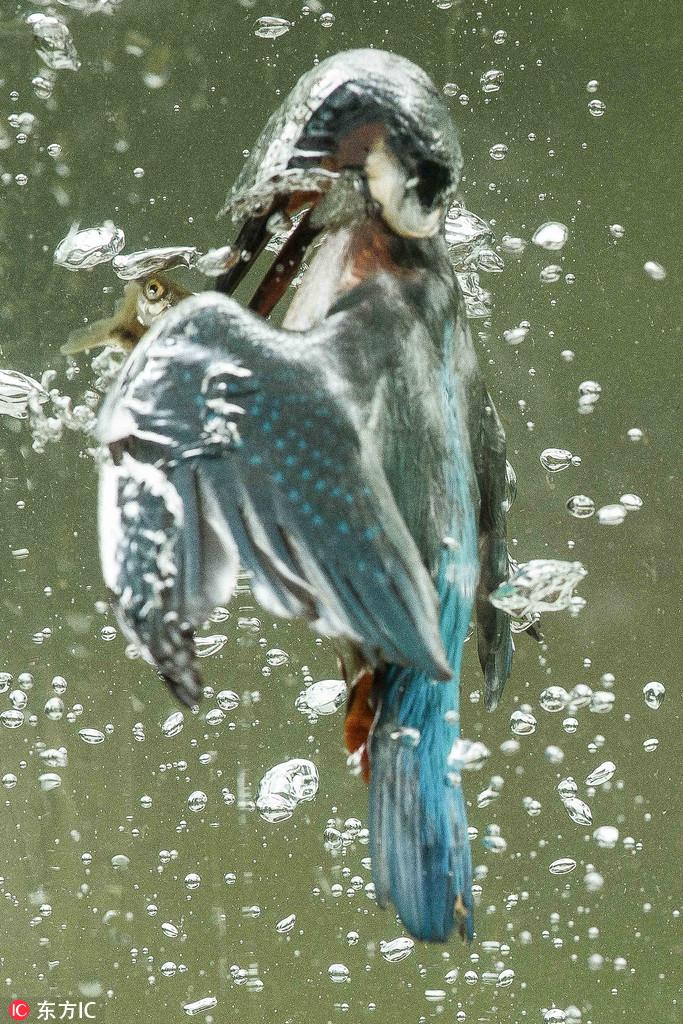 摄影师水下记录翠鸟精准捕鱼瞬间 水泡四起画面震撼