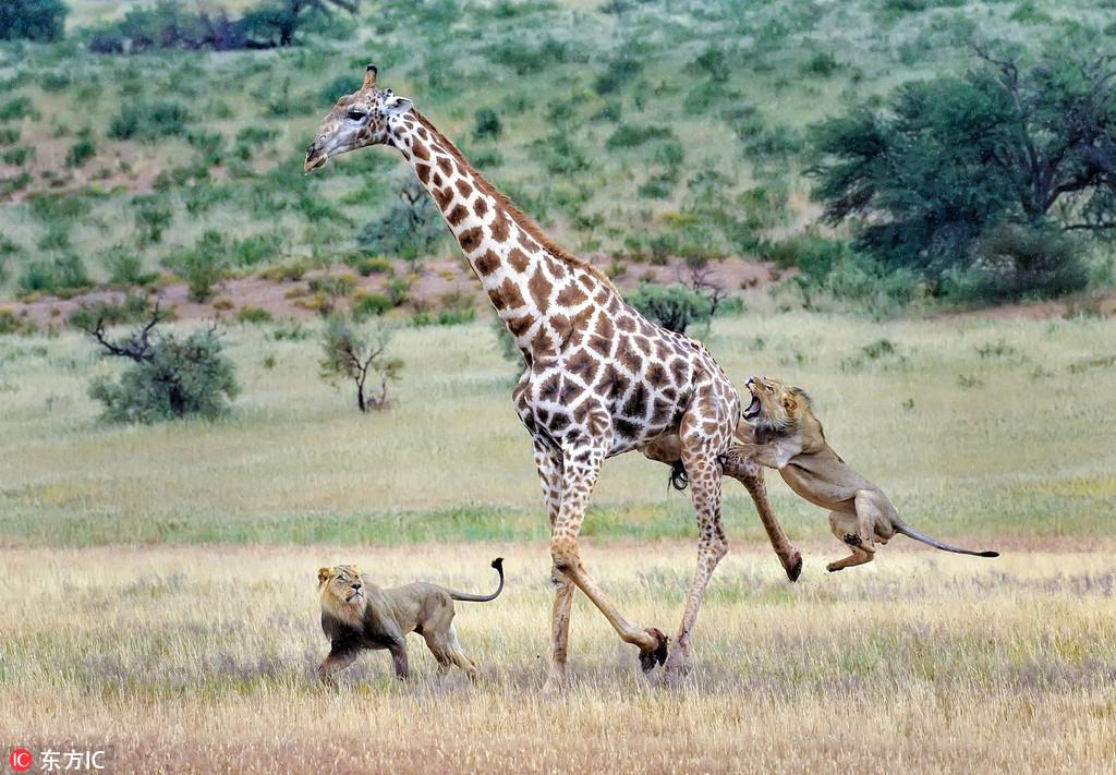 南非两头狮子合力狩猎长颈鹿 上下开攻终拿下