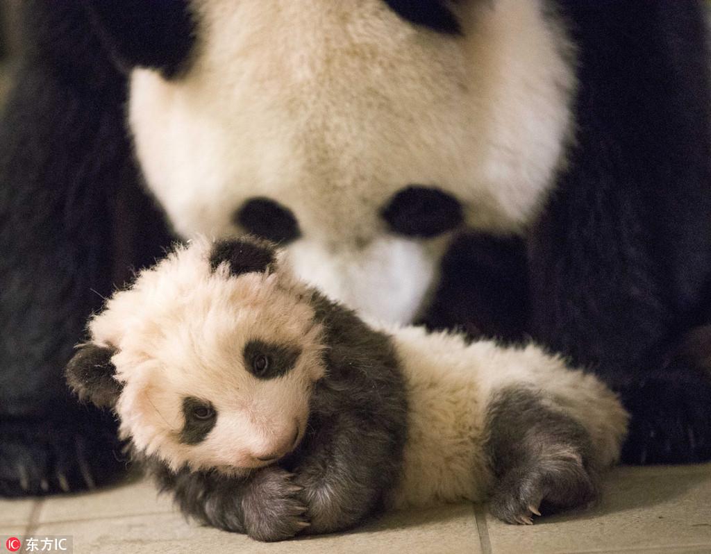 """晒晒旅法熊猫宝宝""""圆梦""""成长萌照 小不点已经长成淘气滚滚啦"""