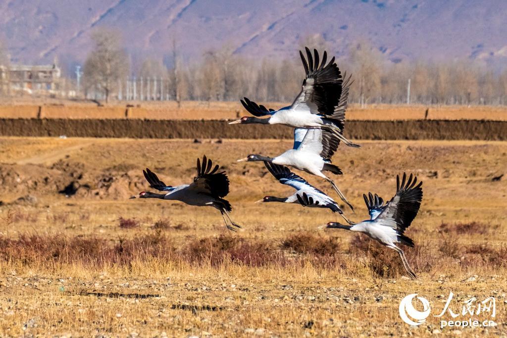 """黑颈鹤越冬时集群较大,它们带着刚刚长大的幼鸟,与其他家族结成十几只,甚至四、五十只的大群,长途飞行时,排成""""一""""字形,""""V""""字形成""""人""""字形的整齐队伍,飞越崇山峻岭,到达气候温和的地方去越冬。"""