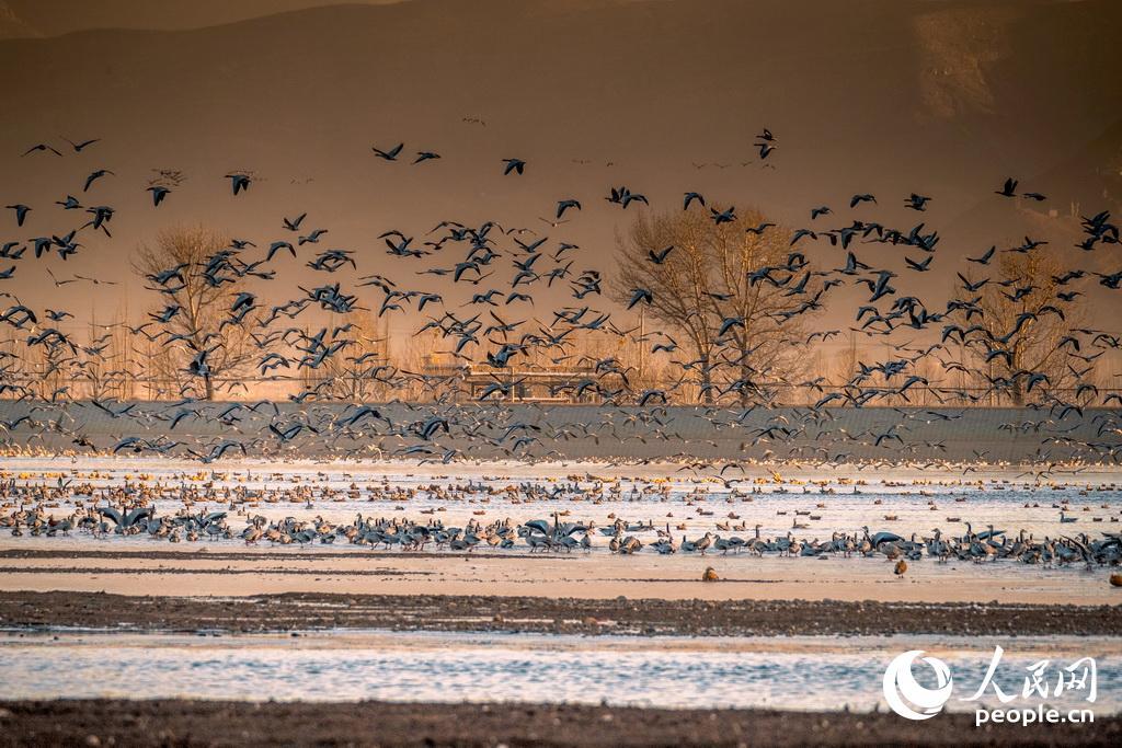清晨成群的黑颈鹤准备飞往觅食的地方。陈志文 摄