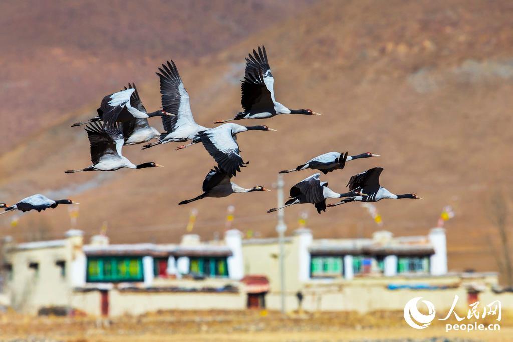 黑颈鹤是国家一级保护动物,也是世界上唯一生长繁殖在高原的鹤。成群的黑颈鹤。阎军 摄
