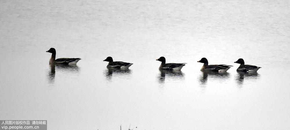 2月10日,大批候鸟在安徽铜陵市郊区与枞阳县交界处的陈瑶湖栖息、飞翔。