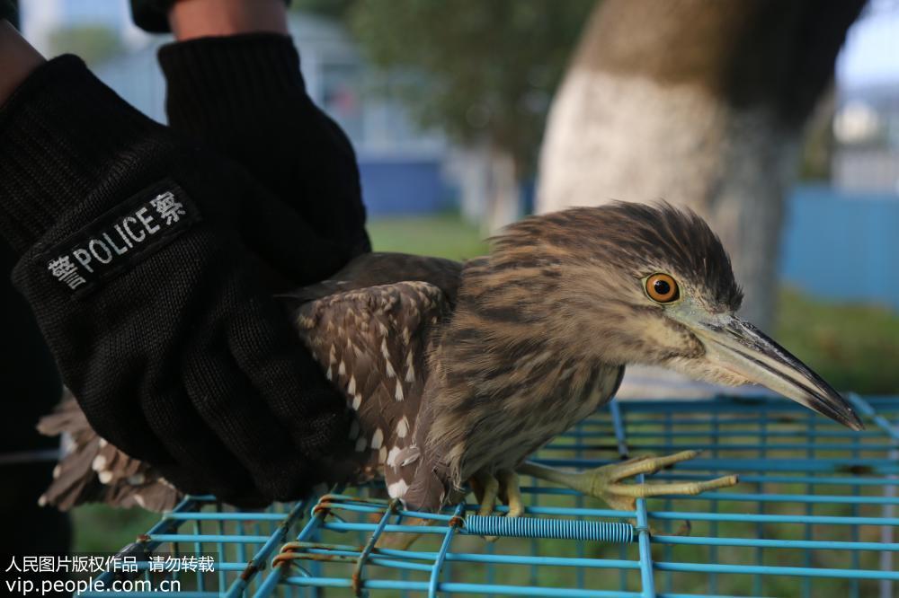 浙江舟山边防救助一只国家二级野生保护动物灰鹭