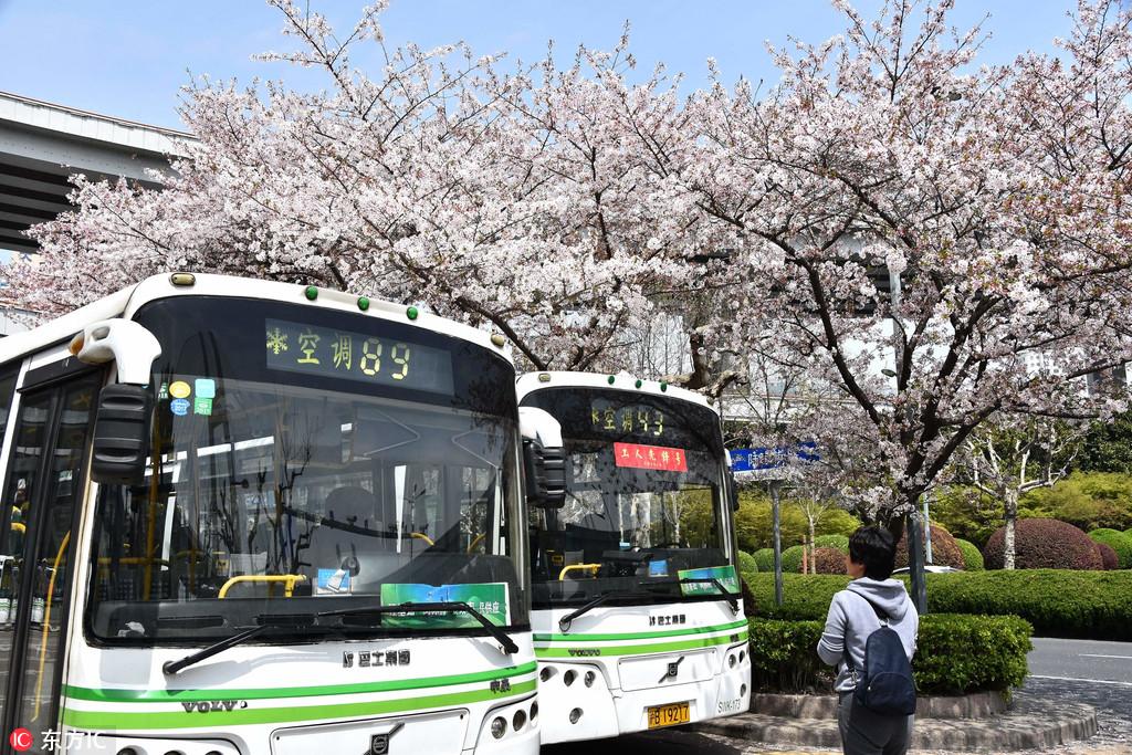 上海最美公交车站樱花迷人